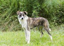 烟草花叶病和白色狐头竖耳无尾短毛小黑犬牛狗混合了品种狗 库存图片