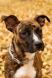 烟草花叶病的斯塔福德郡狗画象在秋天背景的在公园离开 免版税库存图片