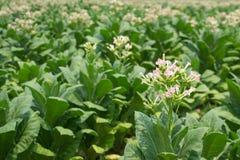 烟草花在农厂厂中 免版税库存照片