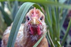 烤小鸡在眼睛的特写镜头焦点,偷看在草外面 免版税库存图片