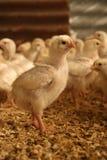 烤小鸡 免版税库存照片