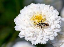 烦扰在一棵开花的春黄菊,罗马-春黄菊属Nobilis -白色 库存照片