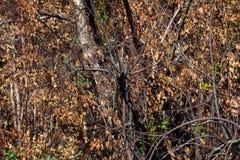 烧伤森林在葡萄牙 库存照片