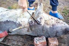 烧在切开前的一头家养的猪 猪头发撤除  库存照片
