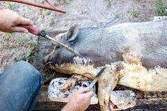 烧在切开前的一头家养的猪 猪头发撤除  免版税库存图片