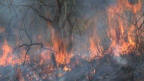 烧在大草原的灌丛火 影视素材