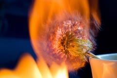 烧在长的曝光的蒲公英的过程 宏指令 库存照片