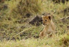 热切地观看的幼狮 库存图片