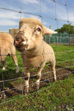 热切的滑稽的羊羔一点 图库摄影