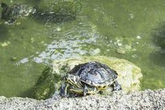 热带乌龟 免版税库存照片