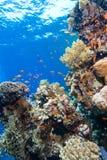 热带五颜六色的埃及红色礁石的海运 库存图片