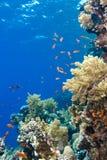 热带五颜六色的埃及红色礁石的海运 免版税库存图片