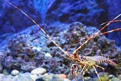 热带五颜六色的龙虾的岩石 库存照片