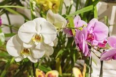 热带兰花是其中一朵地球上的最美丽的花 库存图片