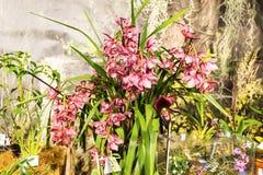 热带兰花是其中一朵地球上的最美丽的花 免版税库存照片