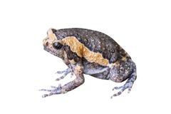 热带动物亚洲narrowmouth蟾蜍或两栖在与裁减路线的白色背景 免版税库存图片