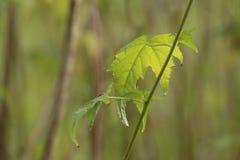 热带半灌木hermaphrodita叶子和词根,已知由共同的名字弗吉尼亚fanpetals 免版税库存照片