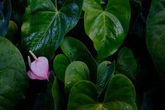 热带叶子叶子在深绿的 库存图片