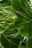 热带叶子纹理背景,深绿叶子条纹  库存图片