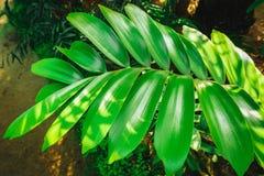 热带叶子绿色背景  植物泽米属furfuracea 库存照片