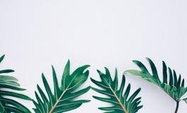 热带叶子顶视图有白色空间的 库存图片
