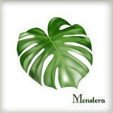 热带叶子Monstera 免版税图库摄影