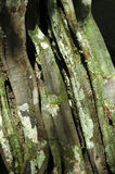 热带吠声的结构树 图库摄影