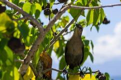 热带嘲笑的鸟, Mimus gilvus,在树,瓜德罗普,加勒比 库存图片