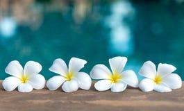 热带在游泳池附近的赤素馨花白花,花温泉 库存照片