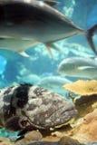 热带大的鱼 免版税库存照片