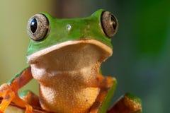 热带大眼睛森林青蛙的雨豆树 免版税库存照片