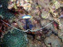热带大螯虾Panulirus ornatus 库存图片