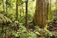 热带大雨林的结构树 库存照片