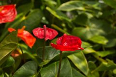 热带安祖花厂,美丽的Laceleaf 免版税库存照片