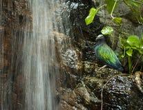 热带尼科巴鸽子 库存照片