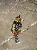 热带巨嘴鸟有顶饰trachyphonus vaillantii 库存图片
