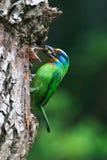 热带巨嘴鸟研磨器s 图库摄影