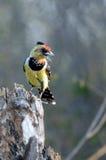 热带巨嘴鸟有顶饰trachyphonus vaillantii 库存照片