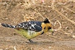 热带巨嘴鸟有顶饰trachyphonus vaillantii 免版税库存照片
