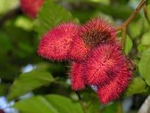 热带异乎寻常的果子的红毛丹 图库摄影