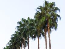热带异乎寻常的棕榈树系列在夏天春季的与长的分支和大绿色叶子在自然一个的晴天求爱 库存照片