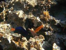 热带异乎寻常的鱼在红海。Zebrasoma xanthurum 库存照片