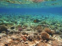 热带异乎寻常的鱼在红海 Cheilinus lunulatus 免版税库存图片