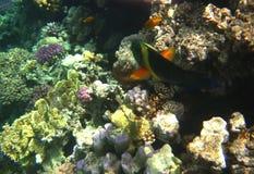 热带异乎寻常的鱼在红海 Cheilinus lunulatus 库存图片