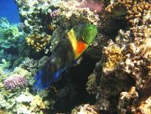 热带异乎寻常的鱼在红海 Cheilinus lunulatus 图库摄影