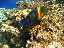 热带异乎寻常的鱼在红海 Cheilinus lunulatus 库存照片