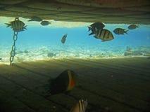 热带异乎寻常的鱼在红海 Cheilinus lunulatus 免版税图库摄影