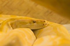 热带异乎寻常的黄色蟒蛇玻璃容器 免版税图库摄影