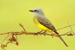 热带必胜鸟,捕蝇草melancholicus,热带黄色灰色鸟形式哥斯达黎加 鸟坐铁丝网,清楚的背景 免版税库存照片