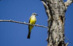 热带必胜鸟, Sweetwater沼泽地图森亚利桑那,美国 图库摄影